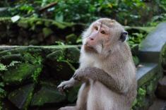 Pondering Monkey